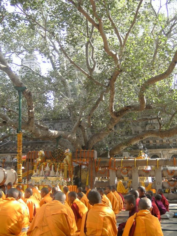 оранжевые монахи у дерева Будды