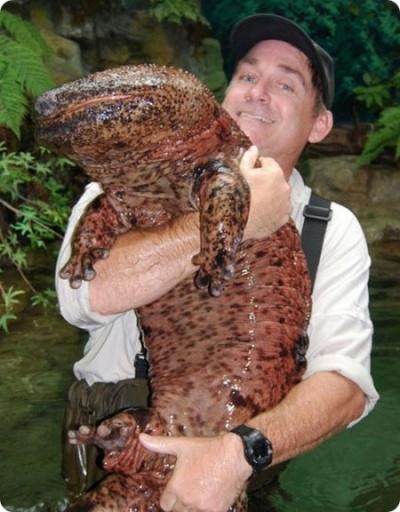 Японская исполинская саламандра - японцы говорят, что ничего вкуснее нет!