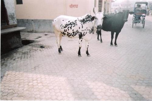 """корова """"долматинец"""""""