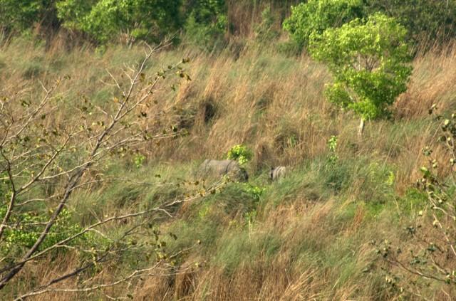 носороги - в траве