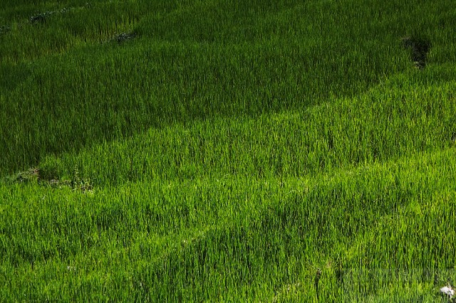 поля риса