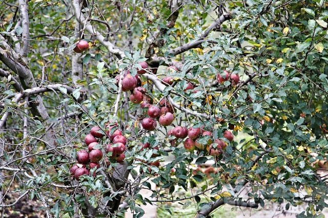 обалденные яблоки Манали