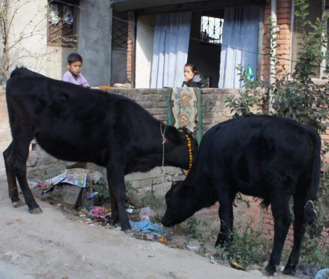 и коровы :-)
