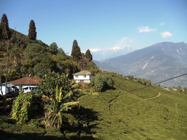 Tea Garden - единственная чайная плантация в штате. Чай дорогой