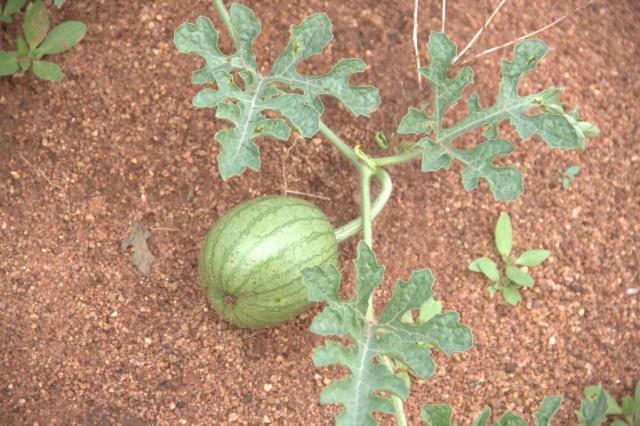 арбузик