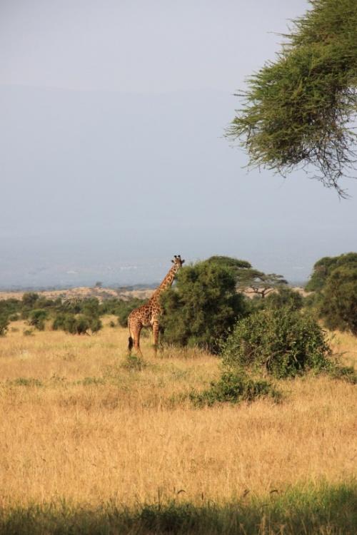 Амбосели. Одинокий жираф