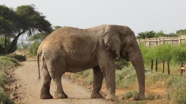 Амбосели. Слон нам не давал проехать:)