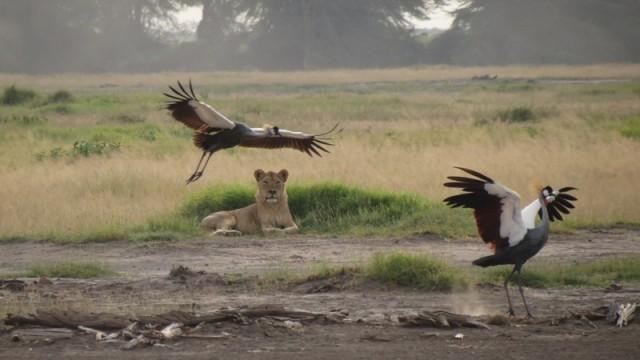 Амбосели. Львица после охоты
