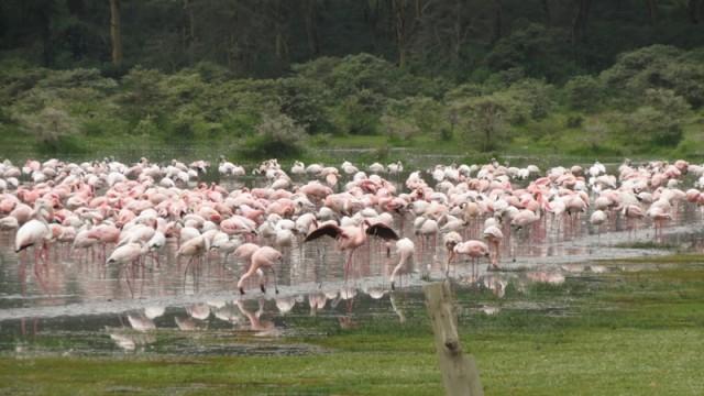 Накуру. Зимовка фламинго