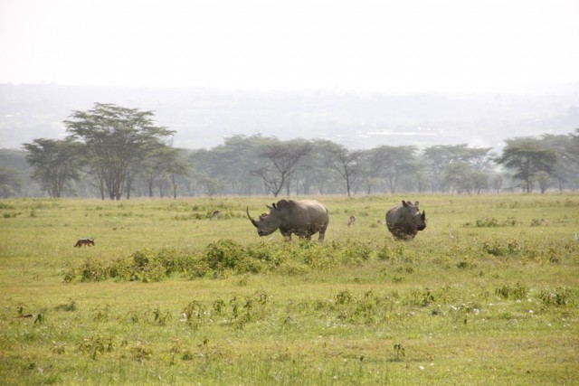 Накуру. Пара носорогов