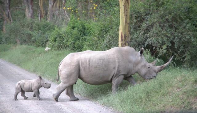 Накуру. Белые носороги