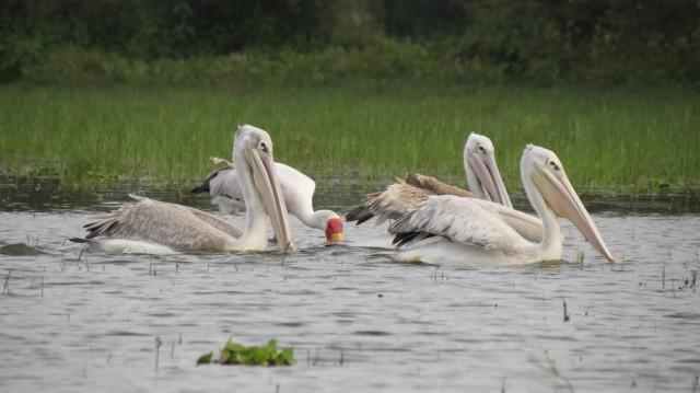 Найваша. Пеликаны