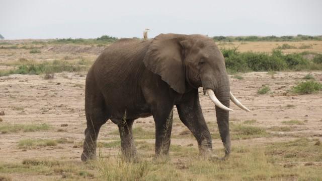 Амбосели. Слон