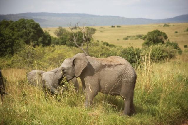 Слонята в Маасай Мара