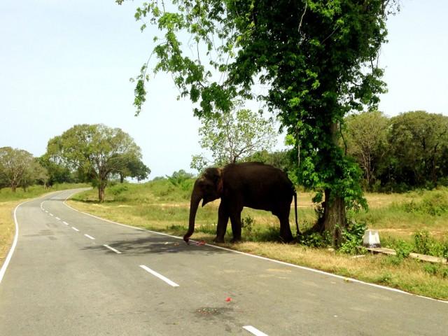 Дикий слон у обочины по дороге в Рекаву