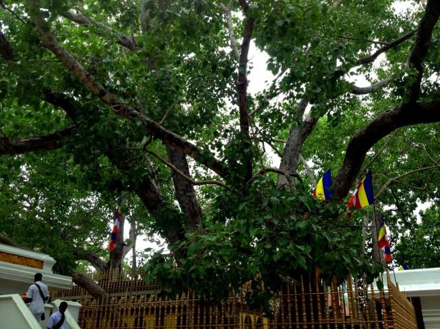 Дерево Бо