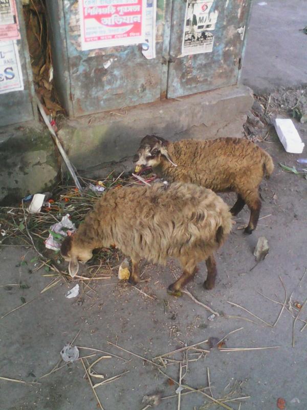 овечки в индии