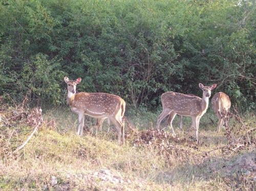в Бандипуре - пятнистые олени