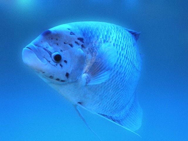 Фукуокская рыбка