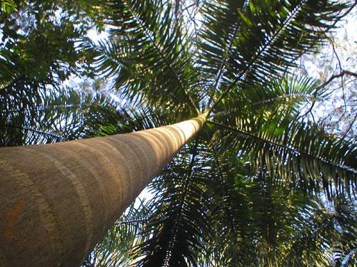 Разновидность тропической ромашки.