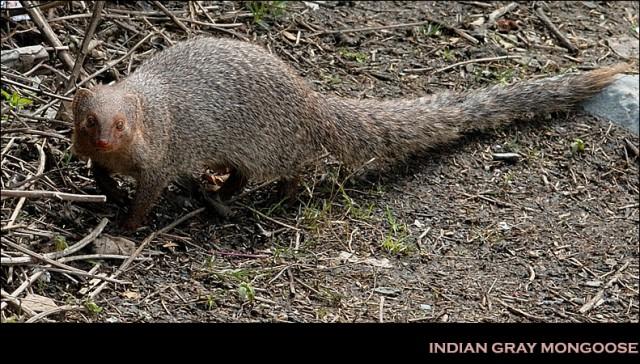 индийский серый мангуст