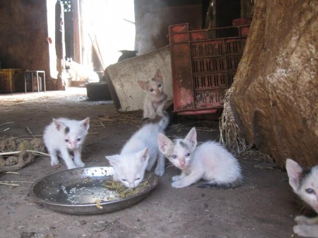 Гоанские котята