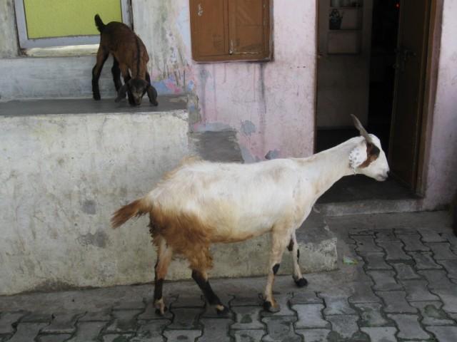 Козы на улицах Маунт-Абу