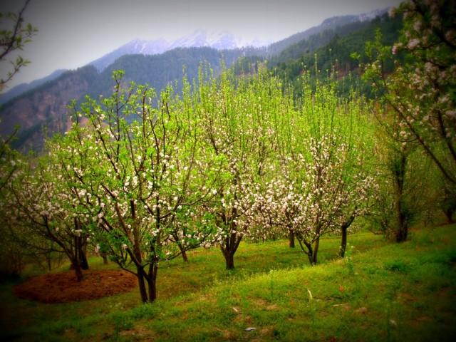 Цветут яблони