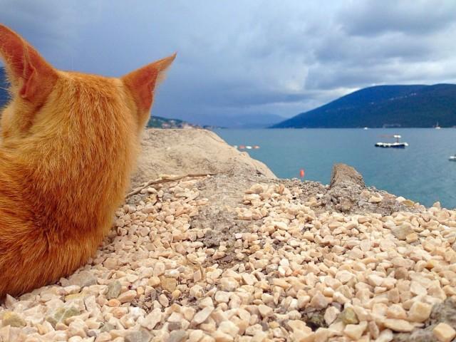 Черногорский дикий котэ