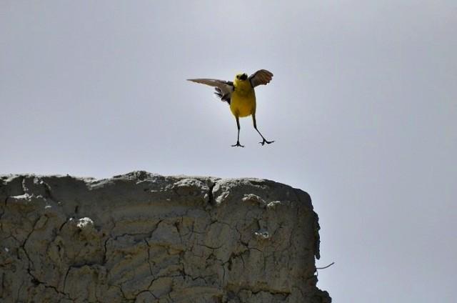 Пляшущая птичка