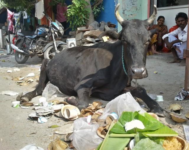 Корова объелась каши и банановых листьев.