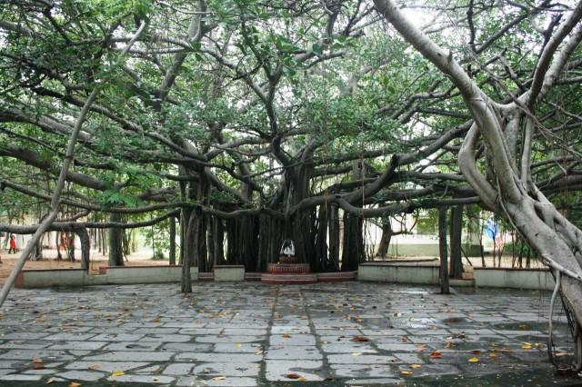 баньян дерево