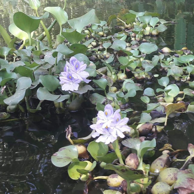 Водные цветы ко дну ничем не крепятся. Их можно достать и перенести