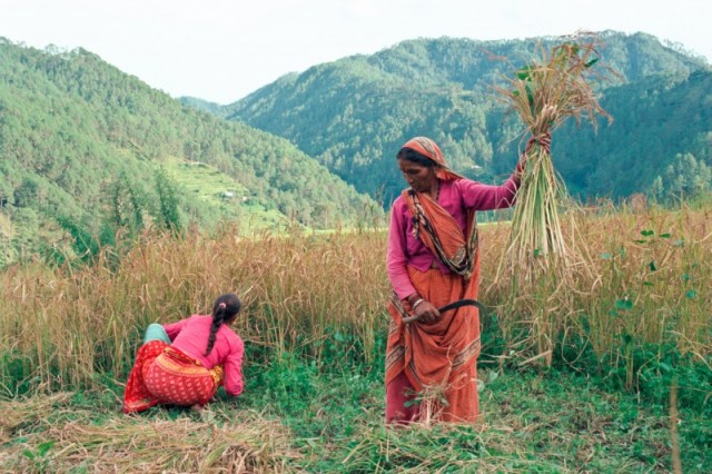 Сбор урожая риса.
