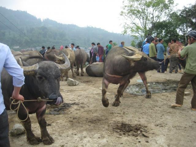 площадка с буйволами