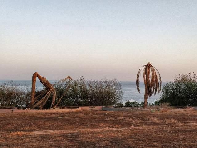 Погибшие пальмы