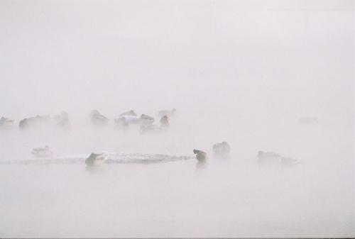утки туманные