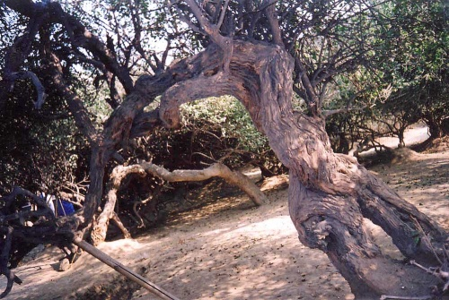Изогнутое дерево в Нидуване.