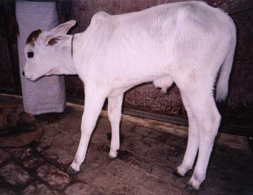Плюшевый теленок
