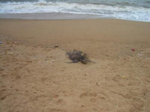 Тушка дохлой черепахи