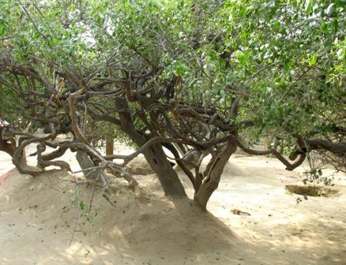 Нидхуван. Деревья