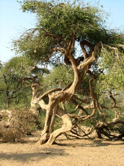 Танцующее дерево