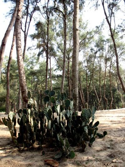 Кактусы в прибрежной роще