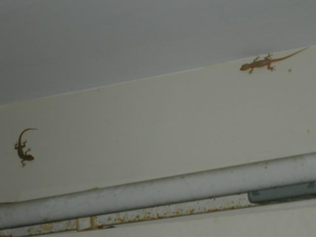 В отеле тусят ящерки.