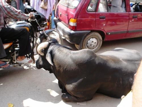 В пробках на дорогах участвуют еще и священные животные