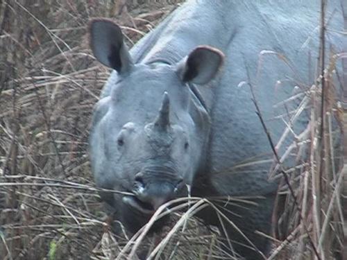 Носорог - рог - рог идёт