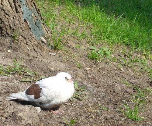 Да, мы, голуби, тоже любим загорать. Видите, крылышки уже шоколадные?