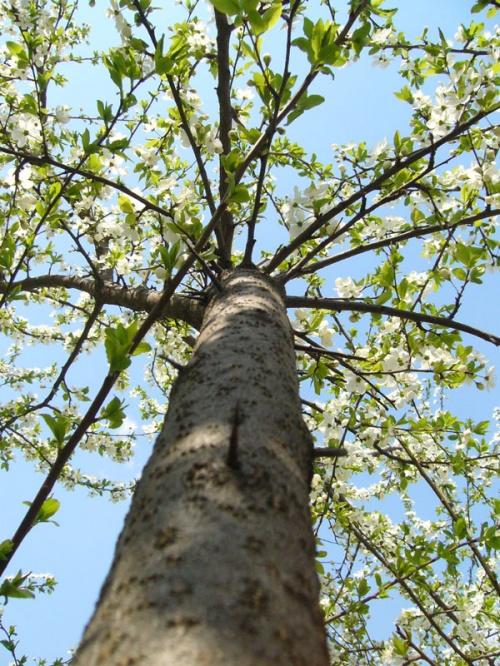 А вы помните запах  цветущей вишни?