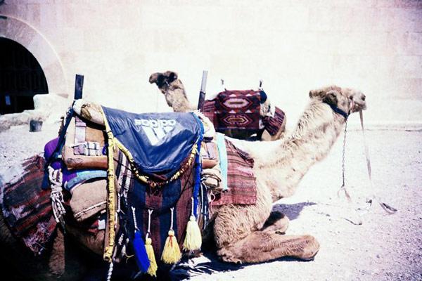 верблюд в адидасе