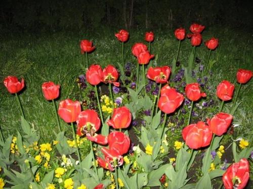 Киев,ночь,тюльпаны...